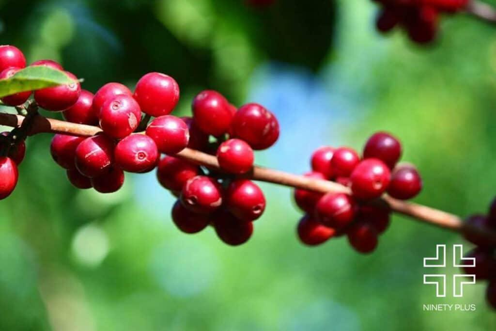 Coffee cherries on the Ninety Plus Coffee estates