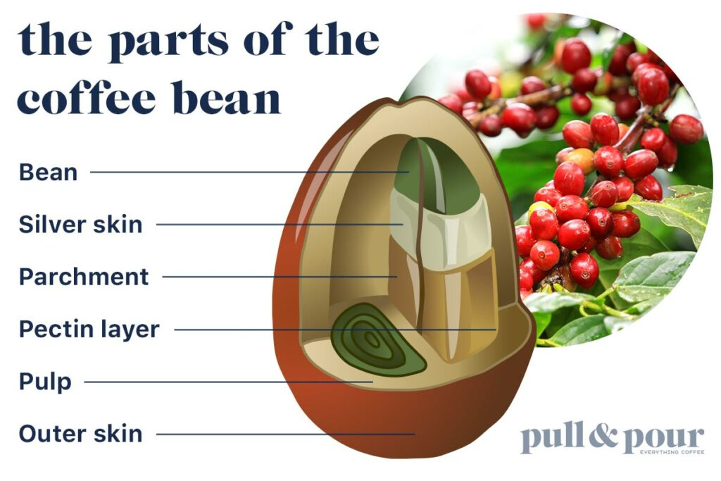 Infographic showing parts of the coffee bean