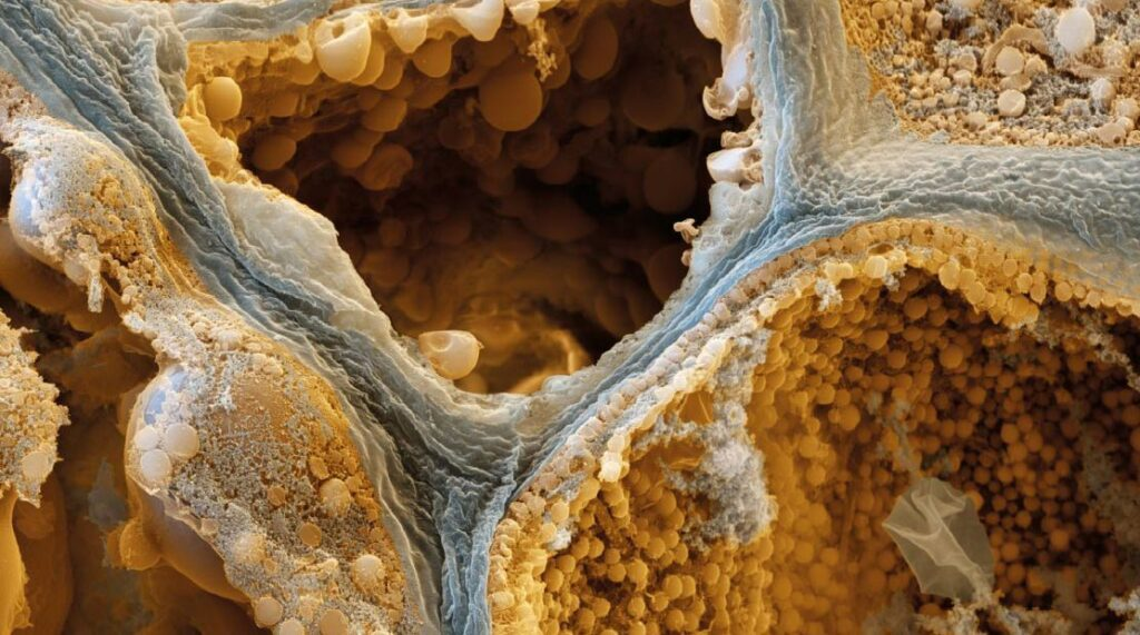 A microscopic image of the cell structure of coffee